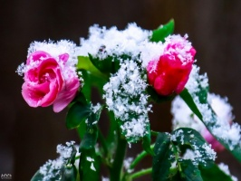 Burvīgā Madona pielaiko ziemu. Foto: Agris Veckalniņš 8