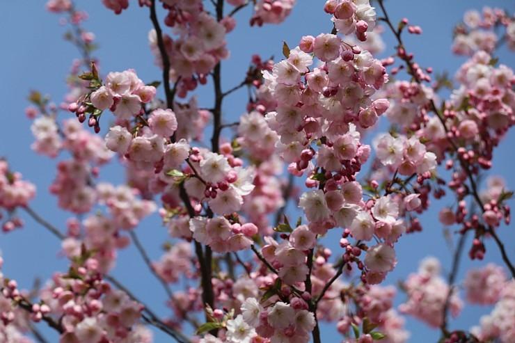 Sakuras krāšņi zied Uzvaras parkā Pārdaugavā 300483
