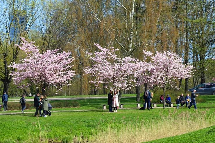 Sakuras krāšņi zied Uzvaras parkā Pārdaugavā 300492