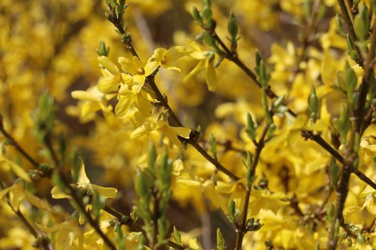 Sakuras krāšņi zied Uzvaras parkā Pārdaugavā 300500