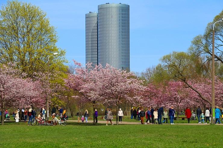 Sakuras krāšņi zied Uzvaras parkā Pārdaugavā - Fot