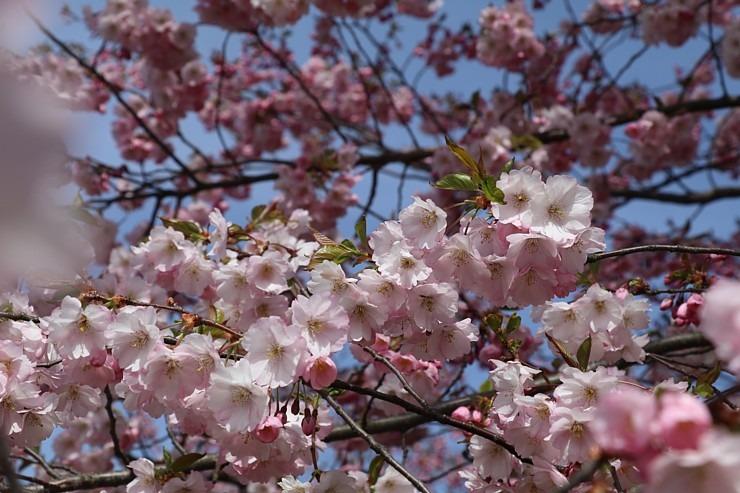 Sakuras krāšņi zied Uzvaras parkā Pārdaugavā 300489
