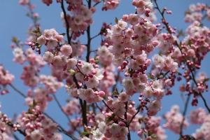 Sakuras krāšņi zied Uzvaras parkā Pārdaugavā 2