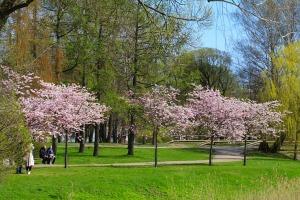 Sakuras krāšņi zied Uzvaras parkā Pārdaugavā 12