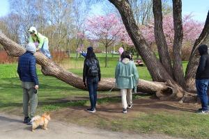 Sakuras krāšņi zied Uzvaras parkā Pārdaugavā 14