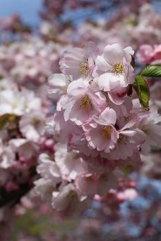 Sakuras krāšņi zied Uzvaras parkā Pārdaugavā 19