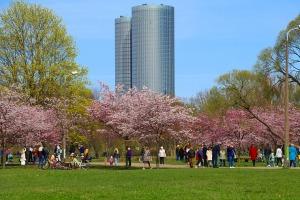 Sakuras krāšņi zied Uzvaras parkā Pārdaugavā 1