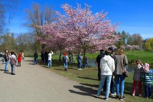 Sakuras krāšņi zied Uzvaras parkā Pārdaugavā 20