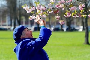 Sakuras krāšņi zied Uzvaras parkā Pārdaugavā 6