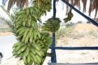 Par niecīgu naudiņu ikkatrs var nopirkt svaigus, ķīmiski neapstrādātus banāniņus... Liels PALDIES par bildēm ceļotājai Vinetai Rencei 15