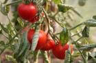 Laiks uz Latgali pēc tomātiem 21