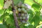 Laiks uz Latgali pēc vīnogām 23