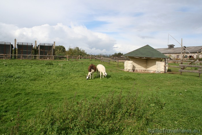 Cīruļos apskatāmas lamas, kazas, kiangi, brieži, vilki, govis, zosis, tītari, dažādi putni un daudzi citi dzīvnieki