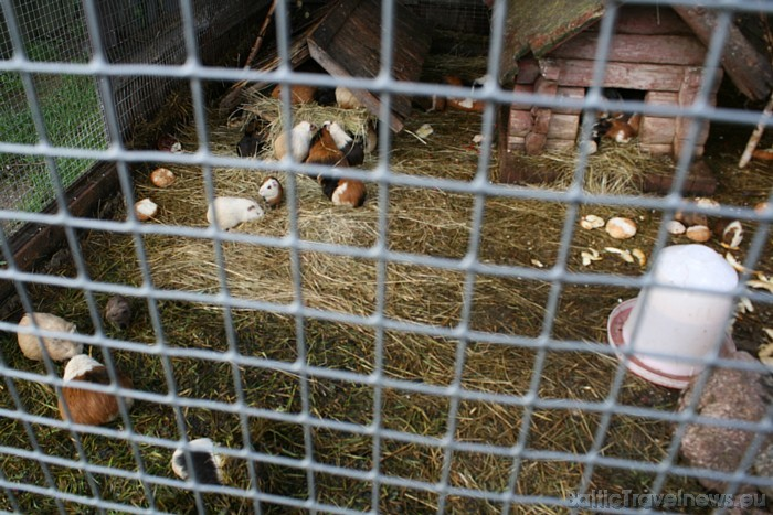 Savā mītnē apskatāma plašā jūrascūciņu saime