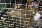 Savā mītnē apskatāma plašā jūrascūciņu saime 19