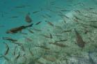 Zivju bari kristāldzidrajā ūdenī piepeld tieši pie tūristu taciņām 10