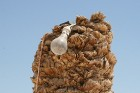 Vēja darinātās smilšu klintis Dbebcha ciemā (Tunisijā) 10