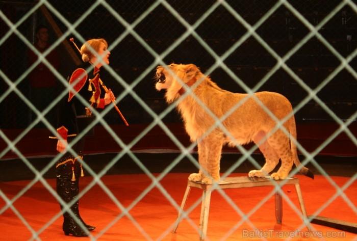 Lauvēni Radža un Gita ir pusotru gadu jauni un dzimuši zoodārzā Krievijā. Vairāk: www.cirks.lv