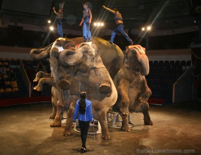 Šo sestdien plkst. 12.00 ziloņi tiks vesti apkārt Rīgas cirka mājai, lai tos iepazīstinātu ar vietu, kur tie uzturās. Vairāk: www.cirks.lv