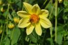Augusts Nacionālajā botāniskajā dārzā Salaspilī lutina ar īstu ziedošo pasaku 1