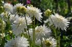 Augusts Nacionālajā botāniskajā dārzā Salaspilī lutina ar īstu ziedošo pasaku 2
