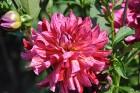 Augusts Nacionālajā botāniskajā dārzā Salaspilī lutina ar īstu ziedošo pasaku 3