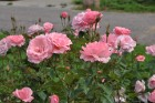 Augusts Nacionālajā botāniskajā dārzā Salaspilī lutina ar īstu ziedošo pasaku 4