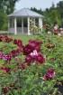 Augusts Nacionālajā botāniskajā dārzā Salaspilī lutina ar īstu ziedošo pasaku 6