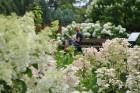 Augusts Nacionālajā botāniskajā dārzā Salaspilī lutina ar īstu ziedošo pasaku 8