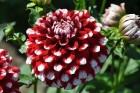 Augusts Nacionālajā botāniskajā dārzā Salaspilī lutina ar īstu ziedošo pasaku 10