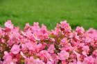 Augusts Nacionālajā botāniskajā dārzā Salaspilī lutina ar īstu ziedošo pasaku 12