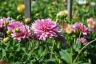 Augusts Nacionālajā botāniskajā dārzā Salaspilī lutina ar īstu ziedošo pasaku 13
