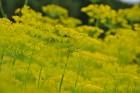 Augusts Nacionālajā botāniskajā dārzā Salaspilī lutina ar īstu ziedošo pasaku 15