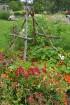 Augusts Nacionālajā botāniskajā dārzā Salaspilī lutina ar īstu ziedošo pasaku 16
