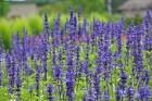 Augusts Nacionālajā botāniskajā dārzā Salaspilī lutina ar īstu ziedošo pasaku 18
