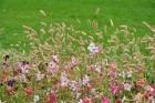 Augusts Nacionālajā botāniskajā dārzā Salaspilī lutina ar īstu ziedošo pasaku 21