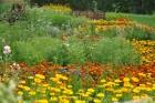 Augusts Nacionālajā botāniskajā dārzā Salaspilī lutina ar īstu ziedošo pasaku 23
