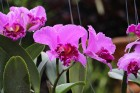 Travelnews.lv kopā ar «365 brīvdienas» un «Turkish Airlines» iepazīst tropu botānisko dārzu «Nong Nooch Tropical Garden» 15