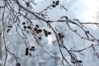 Ventspils «Lemberga hūtē» bauda sniegu, bet gaida salu, lai tas varētu noturēties 9