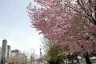 Japānas pilsētā Saporo dabas skaistums mijas ar pilsētas burzmu 2