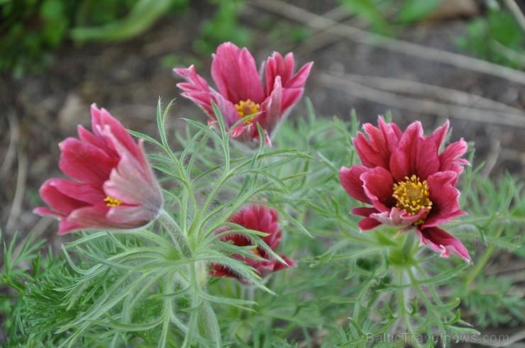 Nacionālais botāniskais dārzs aicina maijā doties nesteidzīgā pastaigā pa ziedošo akmeņdārzu