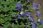 Nacionālais botāniskais dārzs aicina maijā doties nesteidzīgā pastaigā pa ziedošo akmeņdārzu 5