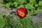 Nacionālais botāniskais dārzs aicina maijā doties nesteidzīgā pastaigā pa ziedošo akmeņdārzu 11