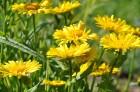 Nacionālais botāniskais dārzs aicina maijā doties nesteidzīgā pastaigā pa ziedošo akmeņdārzu 15