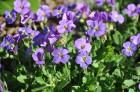 Nacionālais botāniskais dārzs aicina maijā doties nesteidzīgā pastaigā pa ziedošo akmeņdārzu 21