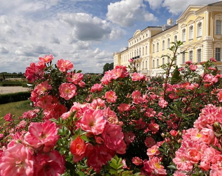 Rundāles pilī skaisti zied franču rožu dārzs