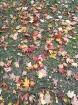 Rīgas parki un dārzi pārklājas rudens zeltā 8