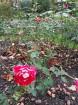 Rīgas parki un dārzi pārklājas rudens zeltā 16