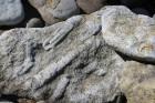 Stāvkrasta pakājē starp akmens oļiem nereti manāmi  Paleozoja ēras Ordovika perioda galvkāja fosīlijas. Tev noteikti atradīsies laiks apstāties un izp 31