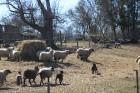 Kādu posmu pēc Toila nākas iet pa šosejas malu, kur sastopam brīnišķīgu aitu ģimeni (?), ar kuru tad nu varam izrunāties ne tikai igauniski, bet arī m 44